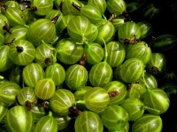 Compote of gooseberries